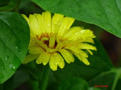 Hidden Beauty (Anton Shomali - Thank you for over 1 million views) Tags: wet yellow daisy flower hidden beauty hiddenbeauty wetyellowdaisyflower rain flowers storm thunder aftertherain back yard summer hot beautiful green leaves leafs panasonic dmcfz70 water