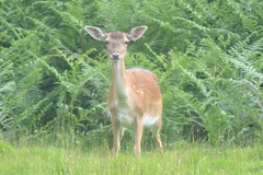 DSC_5491 (Tony Gillon) Tags: july july2017 summer summer2017 dunhammassey deerpark nationaltrustproperty greatermanchester
