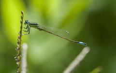 posado (Aristides Díaz) Tags: caballitodeldiablo insecto macro lagunasdelpadul sigmaapo180macrof56 odonato zigóptero damselfly damselflyeyes lestesvirides