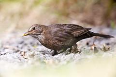 Juvenile Blackbird (Stephen Duffy Images) Tags: birds canoneos1dsmkii ef400mmf56lusm juvinile blackbird berkshire ef25mmextensiontube