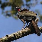 Jacu |  Pava Moñuda | Crested Guan (Penelope purpurascens)