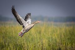 As I fly (shoothekuruvi) Tags: birds flight action nikon d500 india migrant goose