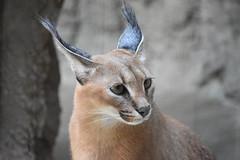 eriezoogrp2DSC_0107 (lwolfartist) Tags: caracal cat feline mammal animal nature photo