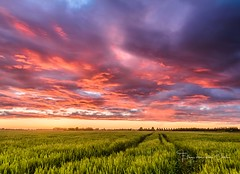 Follow the path (Ellen van den Doel) Tags: color nature roze cornfield goeree corn 2017 boerderij juni sky farm wolken wheat groen natuur zonsondergang sunset graan overflakkee nederland outdoor evening clouds fiield blue lucht kleur pink landscape green landschap netherlands polder field