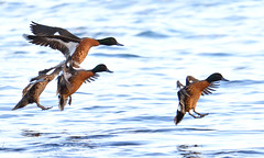 Chestnut Teals - coming in to land (Free_aza_Bird) Tags: anascastanea anas castanea chestnut teal chestnutteal shoreham foreshore reserve shorehamforeshorereserve victoria australia bird birds birders nationalgeographicwildlife featheryfriday wildlifephotography wildlifeoceania worldofanimals ngc