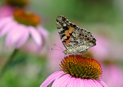 Painted Lady (KsCattails) Tags: botanicalgarden butterfly flower insect kscattails missouri nature paintedlady powellgardens echinacea coneflower pink