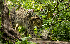Snow Leopard (TLW Photography) Tags: tomasz wasik tlw photography tomaszwasik tlwphotography bronx zoo bronxzoo nature green flowers trees hidden snow leopard animal pink animals action new york vacation newyork