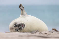Hello everybody! (hihipto) Tags: ifttt 500px beach animal wildlife seal strand tierfotografie helgoland säugetier robben northsee düne