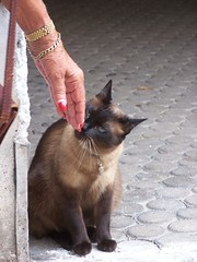 Siam (wolfgraebel) Tags: münchen munich katze cat content sitting eingang entry house street bavaria germany haidhausen pflaster furry pelz kitty portrait hand frau crop woman lady fingernails nagellack fingernägel streicheln stroking petting blaue augen blue eyes kater siamese