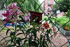 fence (greenelent) Tags: garden flowers communitygarden nature brooklyn nyc newyork 365 photoaday