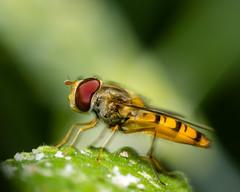 Marmalade Fly (Rob.J.Davis) Tags: episyrphusbalteatus marmaladefly hoverfly uk olympus60mmf28macro olympus60mmf28 olympusmacro macro mft m43 microfourthirds fly ukhoverfly