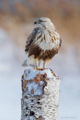 The Picnic Table (Earl Reinink) Tags: hawk raptor winter snow bird animal bif wingsinmotion twighlight roughleggedhawk buteolagopus earl reinink niagara deidraudoa