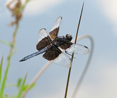 Widow skimmer at nearby lake (Vicki's Nature) Tags: widowskimmer male dragonfly black white wings touchofblue weeds water lake harmony georgia vickisnature canon s5 2258