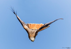 Red Kite ... Head on !! (peterwilson71) Tags: sky bird nature freedom light animal fly wildlife kite outdoors wild wing