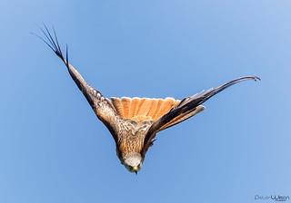 Red Kite ... Head on !!