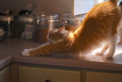 bolt of orange (rootcrop54) Tags: jimmy orange longhair furry male ginger cat lightning bolt stretch neko macska kedi 猫 kočka kissa γάτα köttur kucing gatto 고양이 kaķis katė katt katzen kot кошка mačka maček kitteh chat ネコ morning cc100 cc400