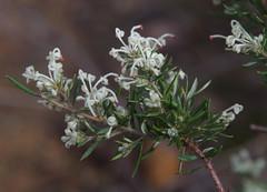 Grevillea pilulifera, Lesmurdie, near Perth, WA, 13/07/17 (Russell Cumming) Tags: plant grevillea grevilleapilulifera proteaceae lesmurdie perth westernaustralia