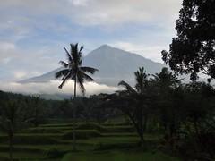 Steps (Canis lupus alba) Tags: kawah ijen kawahijen indonesia java licin banyuwangi volcano caldera rice paddy palm tropical jungle hiking