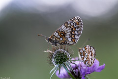 leggera come una farfalla (explore 2017.07.13) (anna barbi) Tags: farfalle macro2017
