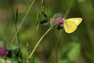 Sulphur (Colias sp.)