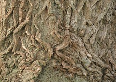 Borke der Silberweide (Salix alba) an der Badestelle Bergenhusen; Meggerdorf, Stapelholm (4) (Chironius) Tags: meggerdorf stapelholm schleswigholstein deutschland germany allemagne alemania germania германия niemcy rosids fabids malpighienartige malpighiales weidengewächse salicaceae weiden weide salix osier willow marsault saule sauce salice salcio ива и́ва söğüt wilg baum bäume tree trees arbre дерево árbol arbres деревья árboles albero árvore ağaç boom träd borke rinde ladrido écorce corteccia schors кора hout bois holz wood legno madera