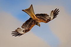 red kite dive (stevehimages) Tags: steve higgins stevehimages steveh nannerth farm wowzers warden wales bird 2017 grandpas grandpasden