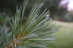 Pine Fluff (OdPhotoer) Tags: pine needles macro branch