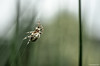 Epeire des roseaux (Patrice Dx) Tags: larinioidescornutus epeire araignée epeiredesroseaux