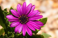 Tuesday Flower (Daniela 59) Tags: 100x2017 100xthe2017edition image59100 theworldaroundme daisy africandaisy flower plant osteospermum colourful colourfultextures texturaltuesday danielaruppel