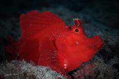 Paddle Flap Scorpionfish (Rhinopias eschmeyeri) (Randi Ang) Tags: paddle flap scorpionfish rhinopias rhinopiaseschmeyeri eschmeyeri padang bai bali indonesia underwater scuba diving dive photography macro randi ang canon eos 6d 100mm randiang
