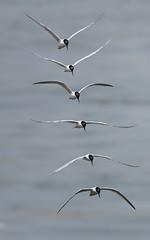 Stack (M2032111 M2032112 M2032113 M2032114 M2032115 M2032116 E-M1ii 300mm iso200 f4 1_4000s) (Mel Stephens) Tags: 20170603 201706 2017 q2 olympus omd em1ii ii m43 microfourthirds mzuiko 300mm pro mirrorless newburgh ythan aberdeenshire scotland uk coast coastal animal animals bird birds procapture modified best wildlife mft june nature geotagged