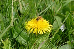 Auf Blumen gebettet (Sockenhummel) Tags: butterblume löwenzahn biene bee dandelion flower gelb pollinator pollination sommer wiese fujinx30 fujifilm finepix fujix30