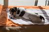IMG_7991 (marylea) Tags: apr22 2017 spring dooley parsonrussellterrier parsonrussell dog puppy prt jrt jackrussellterrier jackrussell terrier 15weeksold