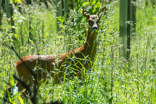 Roe Deer Mother Leading The Way