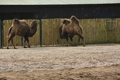 Chester Zoo (100) (rs1979) Tags: chesterzoo zoo chester asiansteppe bactriancamel
