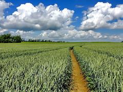 Kornfeld (Wunderlich, Olga) Tags: korn ähren wolken rügen insel deu spuren weg landschaft natur bäume he