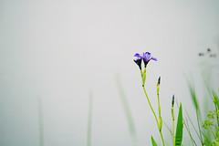 pond iris (taralees) Tags: floraandfauna mainewoods springonrabbitridge