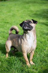 (Jodie Middleton) Tags: pug pugs dogs jackrussel grass green dog outside