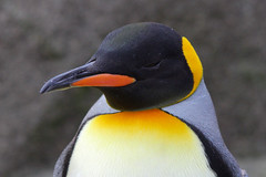 King Penguin, Edinburgh Zoo, March 1st 2016 (Southsea_Matt) Tags: kingpenguin aptenodytespatagonicus march 2016 spring edinburghzoo lothian scotland unitedkingdom canon 60d sigma 70200mm wildlife animals