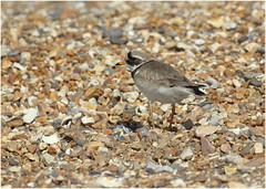 Ringed Plover (jenny*jones) Tags: charadriushiaticula ringedplover wader shinglebeach coastline seabirds seashore snettishambeach rspbsnettisham norfolk naturereserve june2017 birdphotography