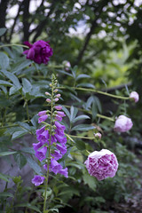 Peonies (ciararkeene) Tags: flowers flower maine flora peonies pink macro nature flowerbud