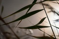Camargue Design (NathalieSt) Tags: camargue europe france gard languedocroussillon nature nikon nikond5500 nikonpassion nikonphotography reeds roseaux aiguesmortes languedocroussillonmidipyrén languedocroussillonmidipyrénées fr