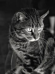 Searching (timvandenhoek1) Tags: sonyilce6000 timvandenhoek midwest missouri cat tabby feline snapseed