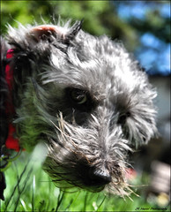""" Whatcha Doin ? "" (John Neziol) Tags: jrneziolphotography miniatureschnauzerchihuahuacross schnauzer interestingdogposes pet portrait dog dognose animal outdoor brantford nikon nikondslr nikoncamera nikond80 pamperedpuppycom"