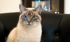 Teddy with those magnificent eyes! (leodudin) Tags: pet pets animal feline portrait d3300 australia brisbane cats animals nikon