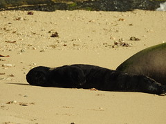 Monk seal pup sleeping (Joel Abroad) Tags: kaimanabeach waikiki oahu honolulu monkseal mother pup sleeping neomonachusschauinslandi hawaiian
