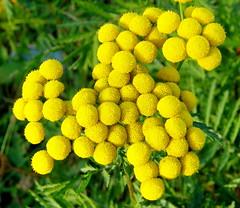 Tanacetum vulgare [Asteraceae] Common Tansy (robinb44) Tags: tanacetumvulgare asteraceae commontansy ladysmithharbour bc vancouverisland georgiastrait yellowflowers