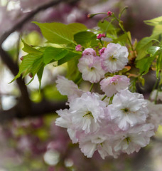 Green and Pink (Jocey K) Tags: newzealand nikond750 southisland christchurch blossom spring cherryblossom flowers leaves