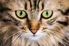 Le Chat  (Minù) (Ondablv) Tags: le chat minù micio cat felino gatto gatta gattona gattone micione miciona miao cats portrait ondablv gatti mici felini animale buffo simpatici simpatico animali