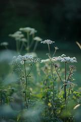summer evening light 14 (Amselchen) Tags: season summer blossom flower grass plants bokeh blur dof depthoffield sony alpha7 samyang 85mmf14 sonyilce7
